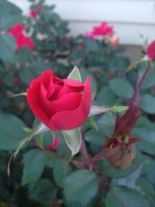 budding rose